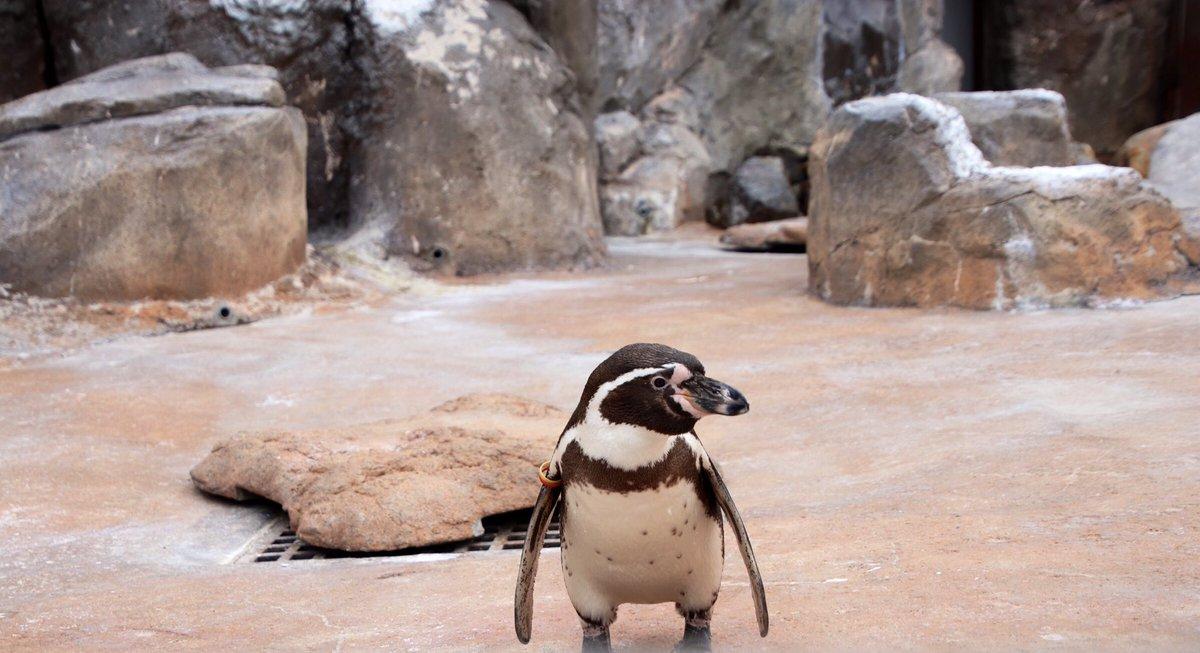 test ツイッターメディア - 20190417 今日のお客さんの入りを伺うフンボルトペンギン🐧 #東武動物公園 #フンボルトペンギン  #じゃっぱ https://t.co/XevG1km3i9