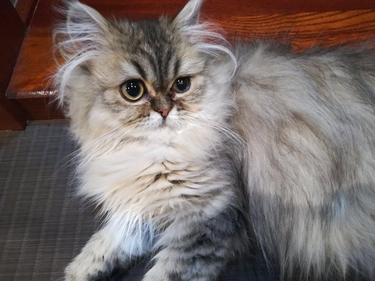 test ツイッターメディア - 推し猫ちゃんスコとチンチラのMIXで、凄い大人しそうで優雅な佇まいなのにベンガルちゃんを全力疾走しては喧嘩してて意外にアクティブすぎる。懐くまでむっちゃ噛んでたあい。見た目と中身のギャップ激しいので勝手にプロシュート兄貴と呼んでる https://t.co/1QyVHQmwZv