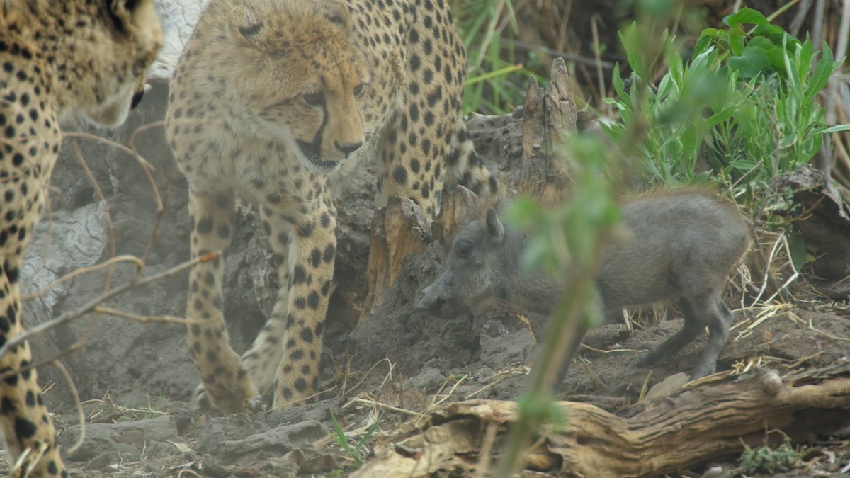 Dikeledi's cubs hunt and corner baby warthog, playing with it before deciding it isn't worth dinner. #SavageKingdom https://t.co/M6RYZUjnoj