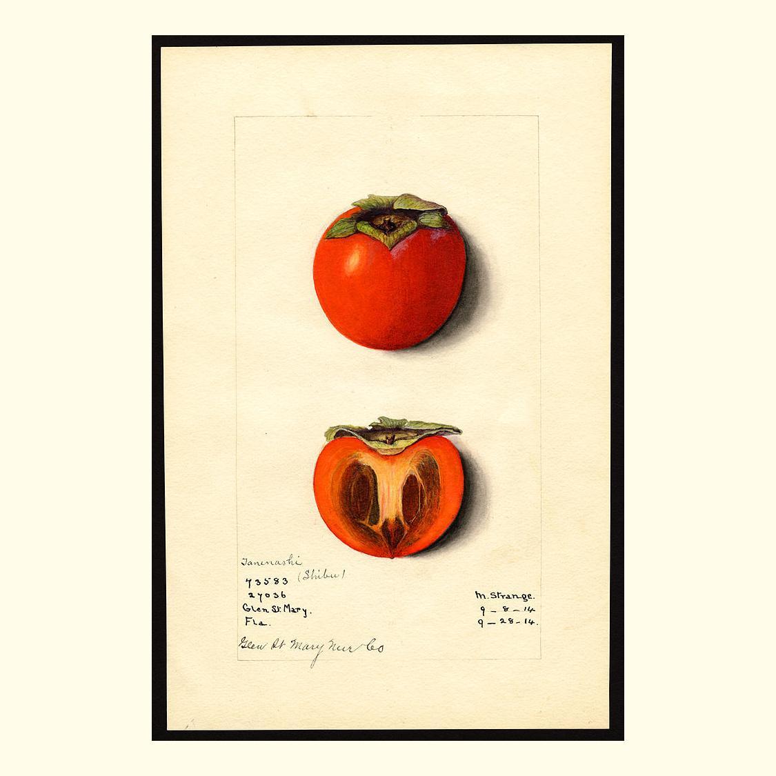 RT @pomological: tane nashi (shibu) persimmons, painted by m. strange, 1914 https://t.co/CdzaO0LuwF