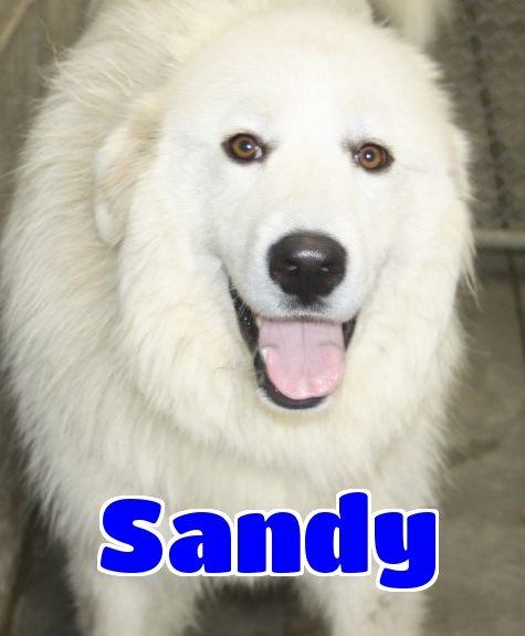 Hey! I am #3233 sandy. I am a female great pyrenees. https://t.co/FY4rOhjKWV https://t.co/LZkH95Cl7B