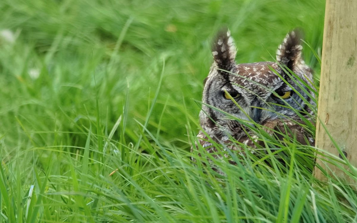 Never seen an owl so friggin pissed..  https://t.co/oJvg08kMoV https://t.co/xvy9vBkST7