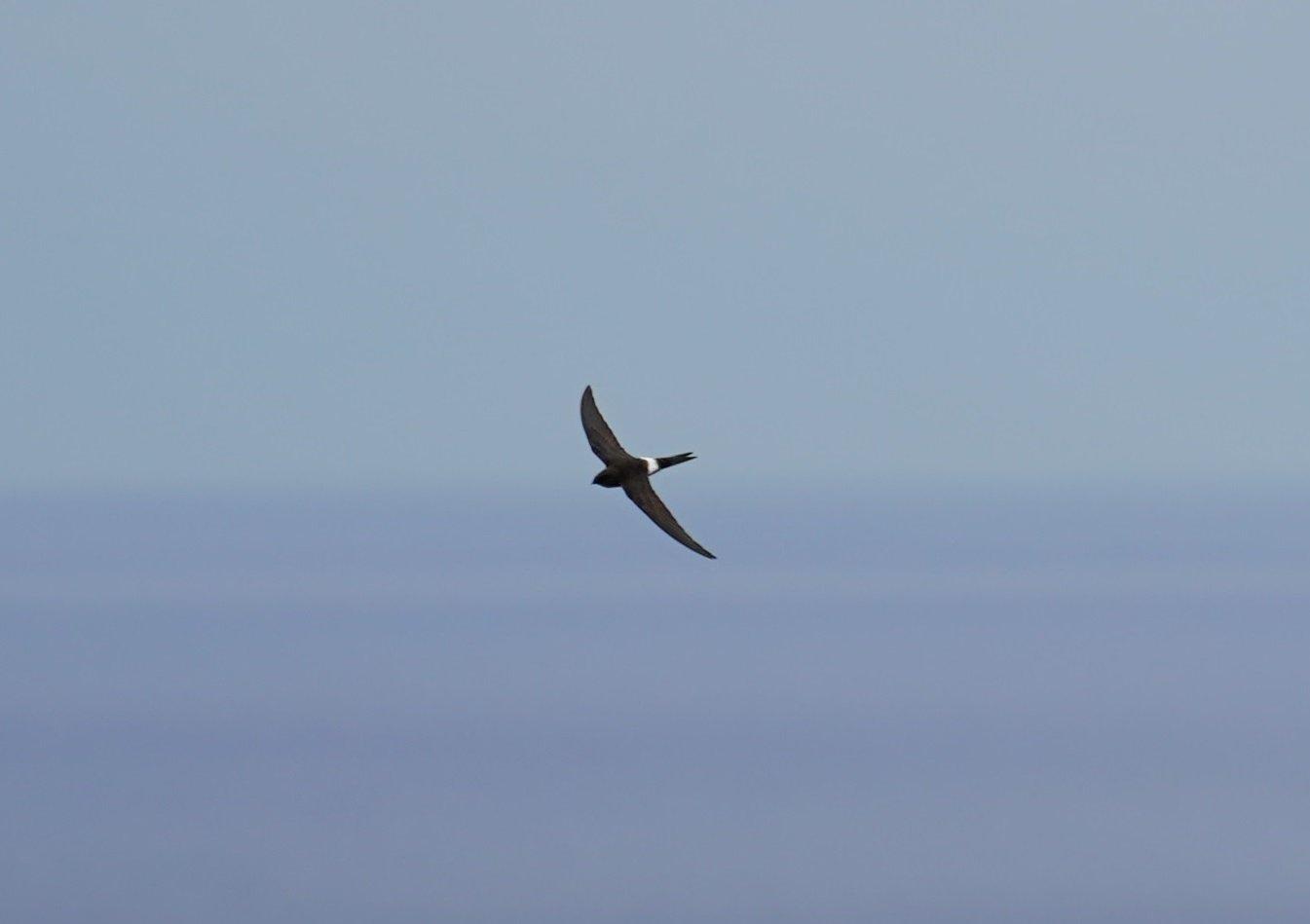 【自然情報】「ツバメ」の群れの中に腰の白い「アマツバメ」が交じっていたよ!じっくり撮りたかったけど、どっちも速すぎ~(≧ヘ≦) !特にアマツバメは鳥類の中でも最速の部類に入るんだって!w(*゚o゚*)w それにしても今年はツバメの群れが多かった気がするな…。<父島レンジャー> #小笠原 #父島 https://t.co/Dv14PpMvD7