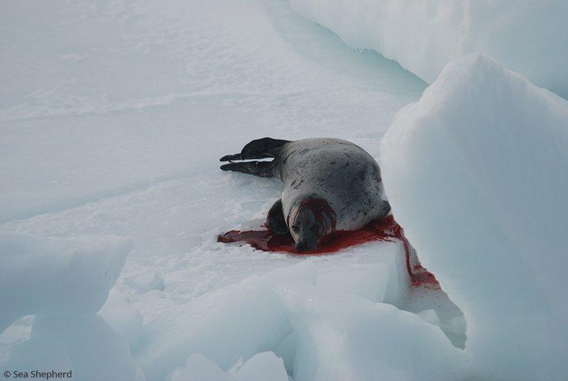 RT @PETA_France: Demandez la fin du honteux massacre des phoques au Canada !  https://t.co/QpPGKBC1QF https://t.co/XrrHCzx5n3