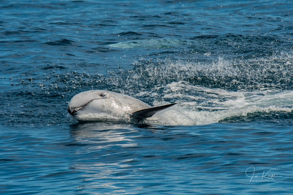 A young Risso's Dolphin waving at the boat as it swims past 😃 #PhotoOfTheDay #MarineLife #Dolphin #RissoDolphin #RissosDolphin #Monterey #MontereyBay #MossLanding #CentralCoast #Cetacean #OceanLife #MarineMammal #DailyPhoto #DailyPic #Wildlife #WildlifePhotography #WhaleWatch https://t.co/ZLChPAuKNP