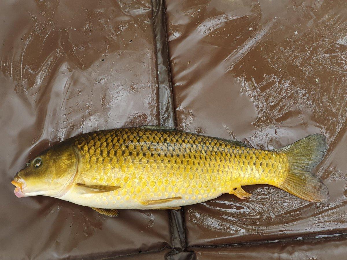 3rd fish and only came down for a few <b>Hour</b>s #carp #carpfishing #flotarota https://t.co/yWiWoP