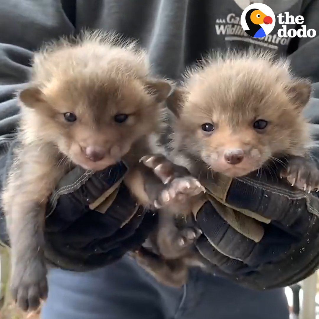 RT @dodo: Watch these adorable baby foxes reunite with their mom ???? https://t.co/7c0oP8tYzV