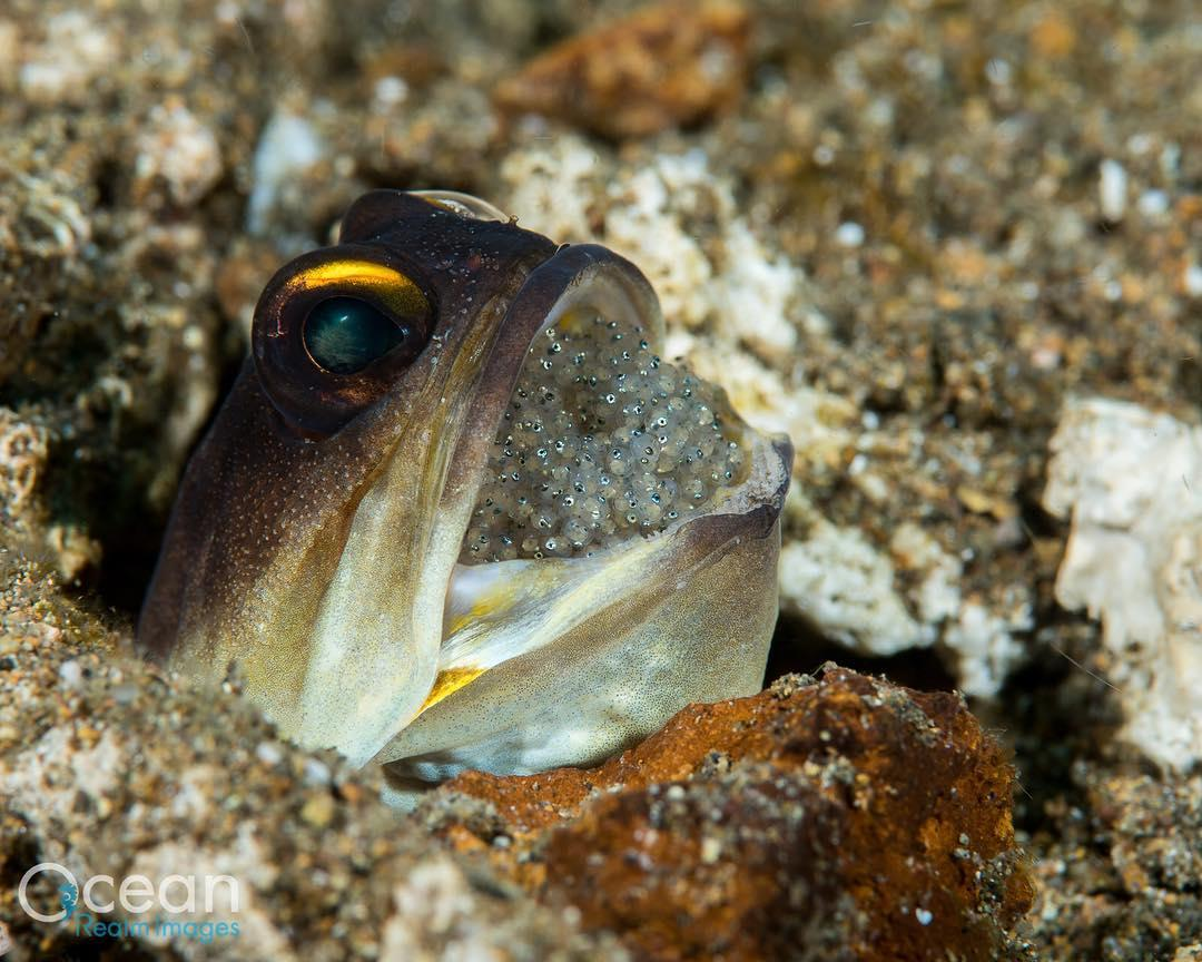 Where have you spotted a jawfish underwater? 📷: IG user dr.richardsmith in Anilao, Batangas, Philippines https://t.co/TQOLKqxUnG