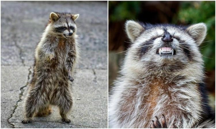 "RT @MarinaLaFoca: Hᴏʟᴀ ᴀᴍɪɢᴏs ᴅᴇ ʟᴏs MAPACHES ZOMBIES... #4483 Fᴀɴᴛᴀsíᴀs Eʀóᴛɪᴄᴀs  Autoridades alertaron por mapaches ""zombies"" en Riverside, Chicago.  Los mapaches zombies caminan sobre sus patas traseras, se tambalean y muestran sus dientes...  #ECDQEMSD https://t.co/dh2WLx6qG7"
