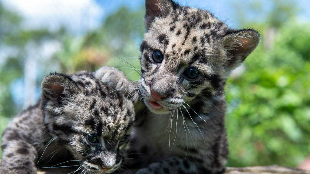 test Twitter Media - Clouded leopard cub at Pittsburgh Zoo gets new companion https://t.co/OroulNwUSO https://t.co/GLztFbpbPd
