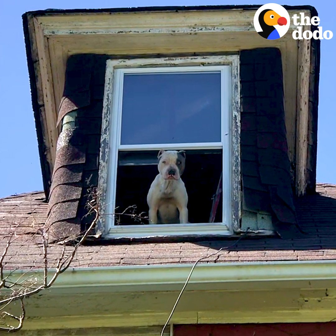 This pit bull stared out the window of an abandoned house for 2 weeks waiting to be rescued. Thank you for sharing @StrayRescue ❤️ https://t.co/ablDE8j7OU