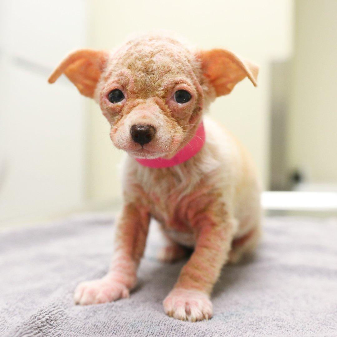 RT @dodo: Watch this mini 'alien' turn into a furry, feisty dog! #LittleButFierce ???? https://t.co/S2SSIV0SLb