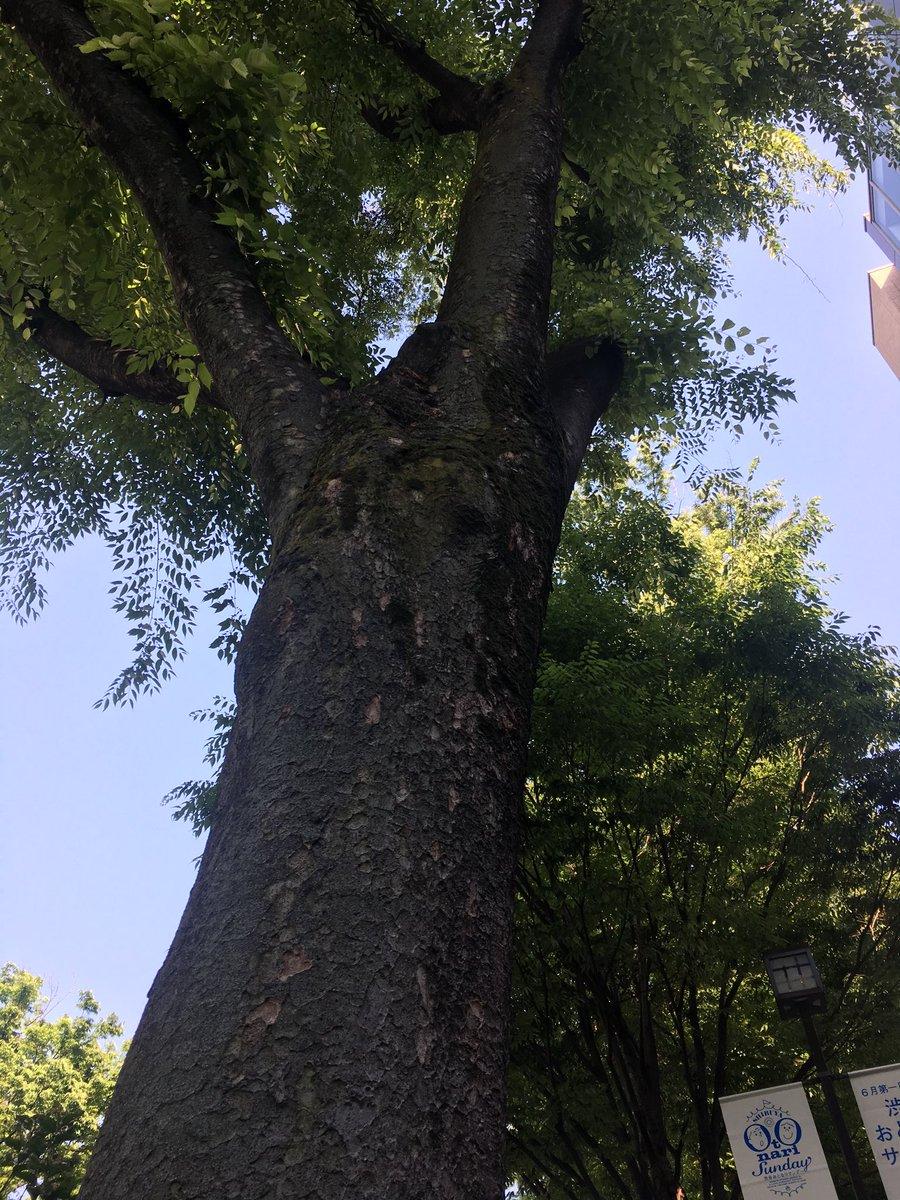 test ツイッターメディア - 原宿 キディランド前あたりの木  探偵物語で優作さんと倍賞さんがアイス食べていた木だと  勝手に思ってる https://t.co/MP4IBQMiWA