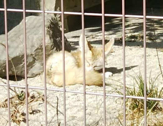 test ツイッターメディア - フェネック四連発🎶  おそらく初めて上げる写真と思います。そういえば東山動植物園でフェネックが歩くところを見たことないような…  #フェネック #東山動植物園 https://t.co/yzFyg9pxYY