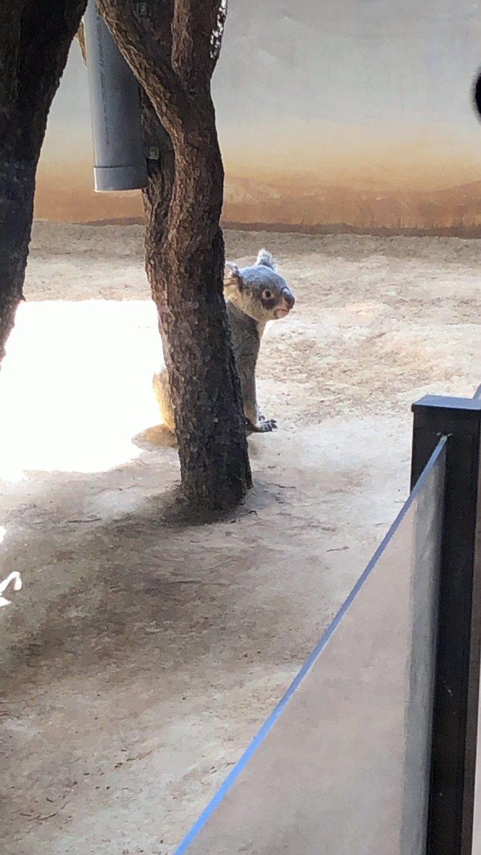 test ツイッターメディア - 東山動植物園の写真 1.コアラ🐨  コアラ!! 可愛よねコアラ🐨 コアラはたくさん写真撮りました。 この3枚は、同個体。 エサが欲しくて、飼育員さんをめちゃくちゃ見てた() https://t.co/ZaFNeXijSZ