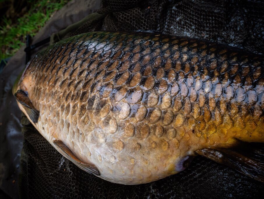 Yep. That'll do. Stunning common. Pics to follow 😍 #carpfishing #commoncarp #Carpangler https:/