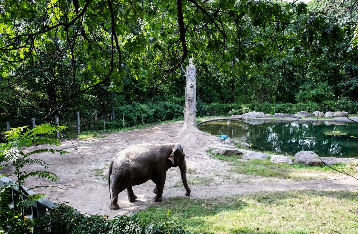 1. Elephants are just like us. They celebrate births & mourn deaths. And they grow depressed when they're isolated. They require a companion or herd in order to be happy  Meet Happy the 🐘  Happy is 48 & she lives at the @BronxZoo  For the past 13 years, Happy has lived all alone