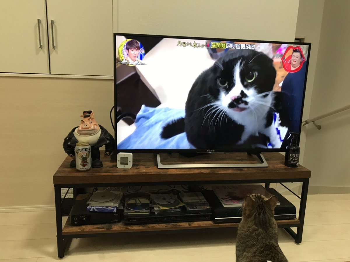 test ツイッターメディア - 月曜から夜ふかしに、ちょび丸出た〜。  #猫 #cat #ニャンコブ #月曜から夜ふかし https://t.co/FcL9lJJISI