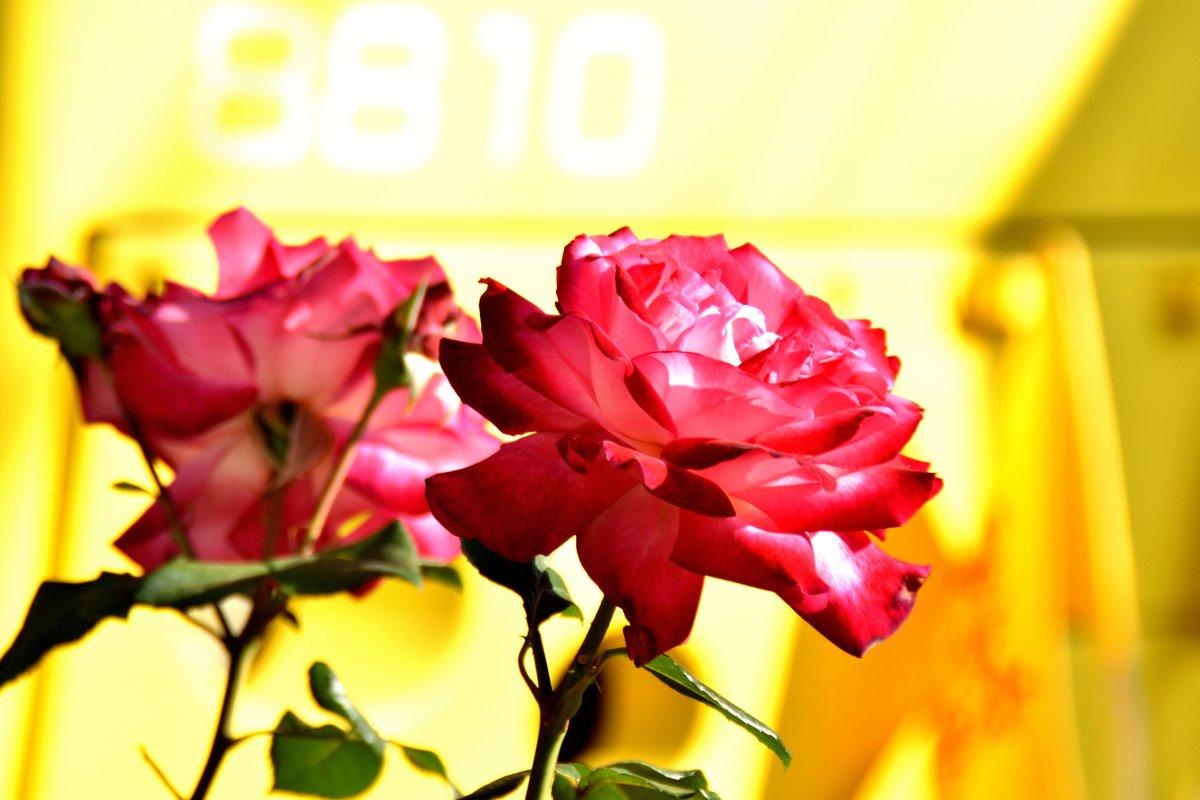 test ツイッターメディア - こちらは三ノ輪橋駅に咲く聖火です。 #都電とバラ #聖火 #東京さくらトラム #三ノ輪橋 https://t.co/C6wktaL0SG