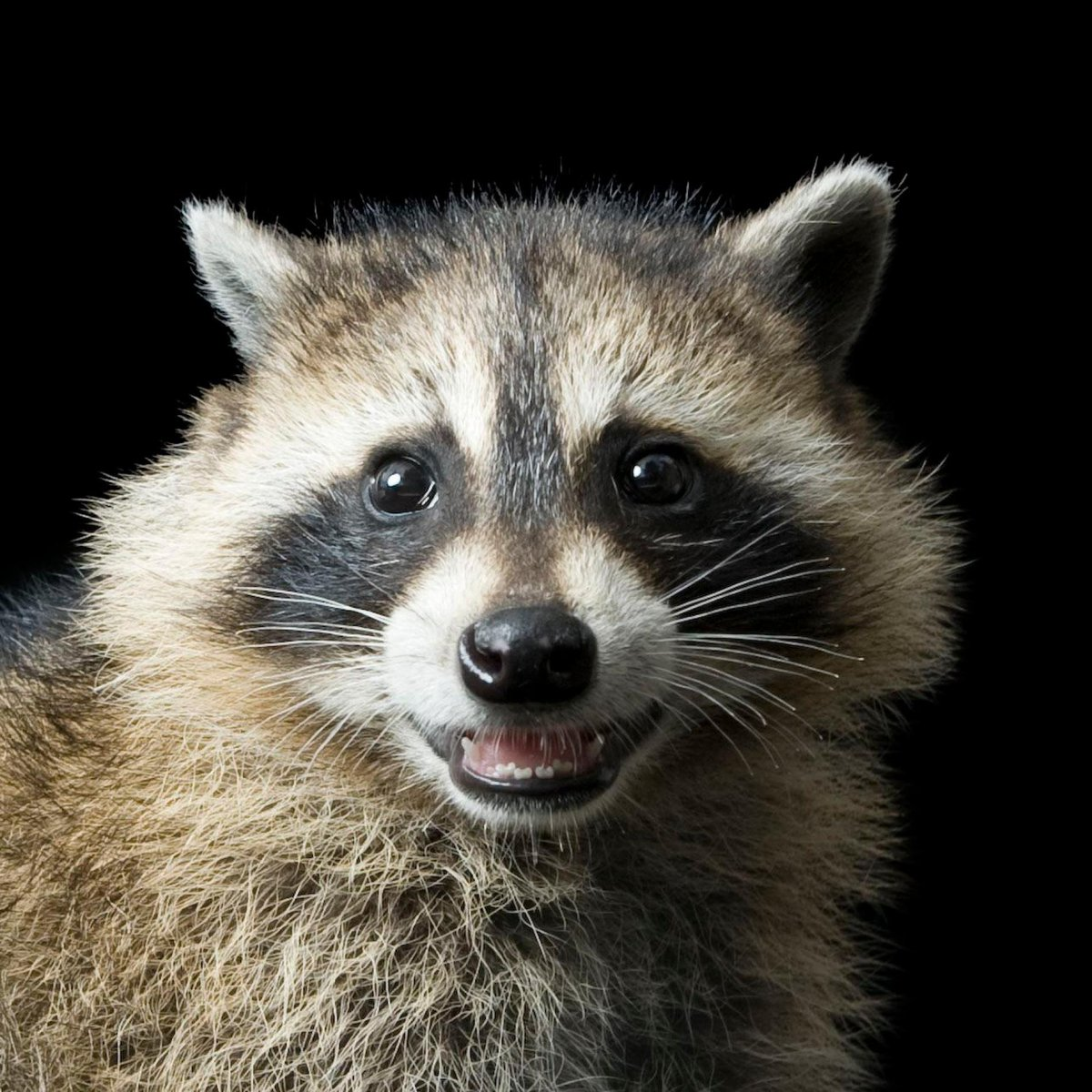 test Twitter Media - Congratulations to @PoetrySociety Member Anna Kisby (@AnnaCom49093409) - winner of Binsted Prize for her poem 'Five Times Raccoon'.  First thing this morning you tell me you can't drive me to California after all and the reason is raccoons...  https://t.co/eC2yJqgSyK https://t.co/30XHAZjUhC