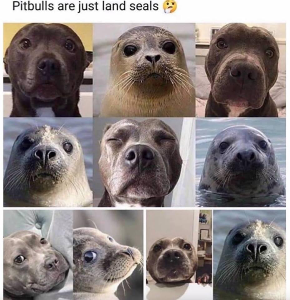 Pit Bull or Land Seal? #vieravet #pitbulls https://t.co/5vyu6nUgj5
