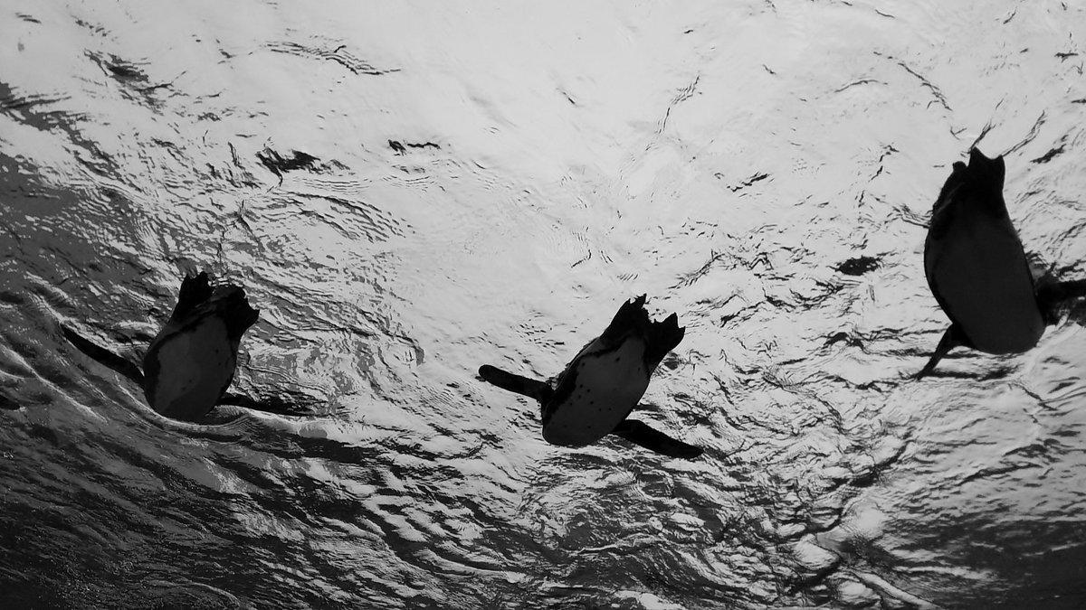 test ツイッターメディア - サンシャイン水族館 @Sunshine_Aqua のペンギンが空を飛んでいるように見える水槽。 白黒にしてみたらなんとなくエモい感じになりました。 我が娘はずっと「ペパプの夢が叶ってるみたい!すげー!」って少々興奮ぎみでした😄 フレンズかわいいからね、仕方ないね。 https://t.co/GbgbpchX05
