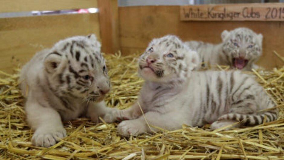 test Twitter Media - Fire hvide tigre skulle smugles ind i Libyen https://t.co/yBcpTyTGXl https://t.co/s3ansPus51