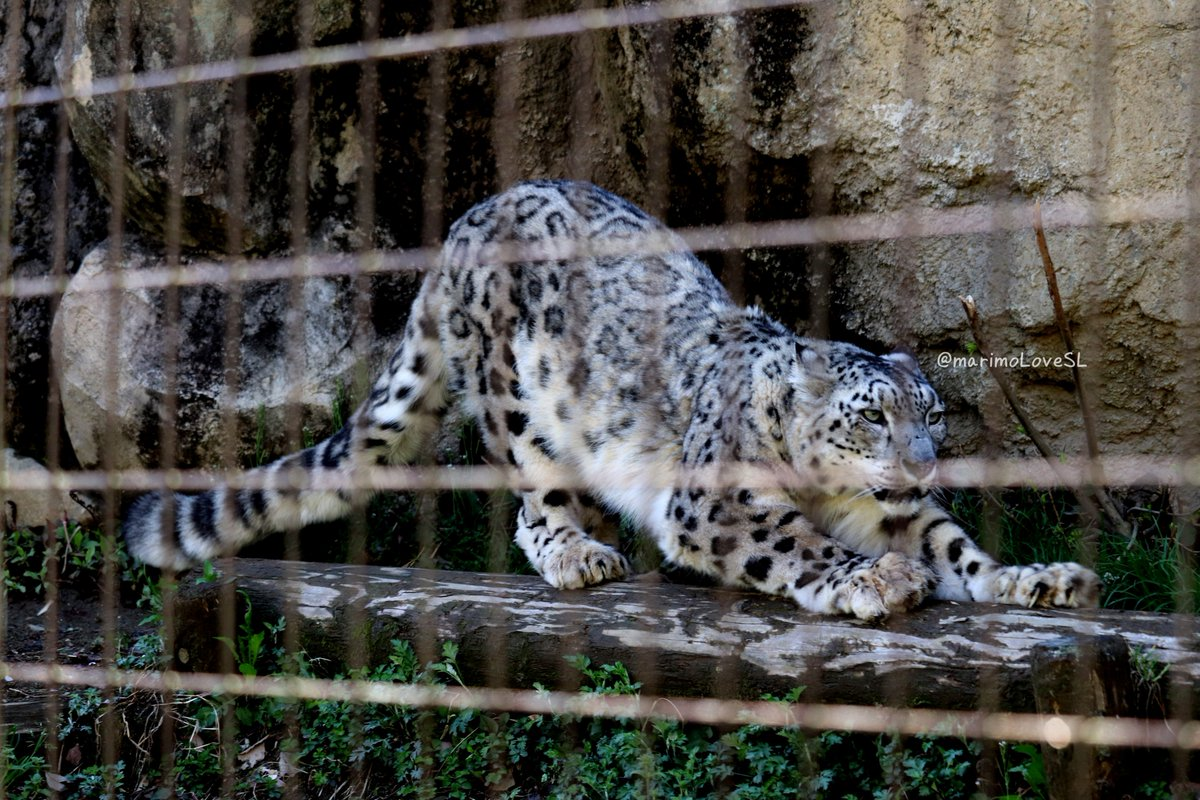 クールな爪研ぎ✨ (2019年04月11日 #多摩動物公園 ) #ユキヒョウ #ヴァルデマール #snowleopards https://t.co/uYdK3k9dAH