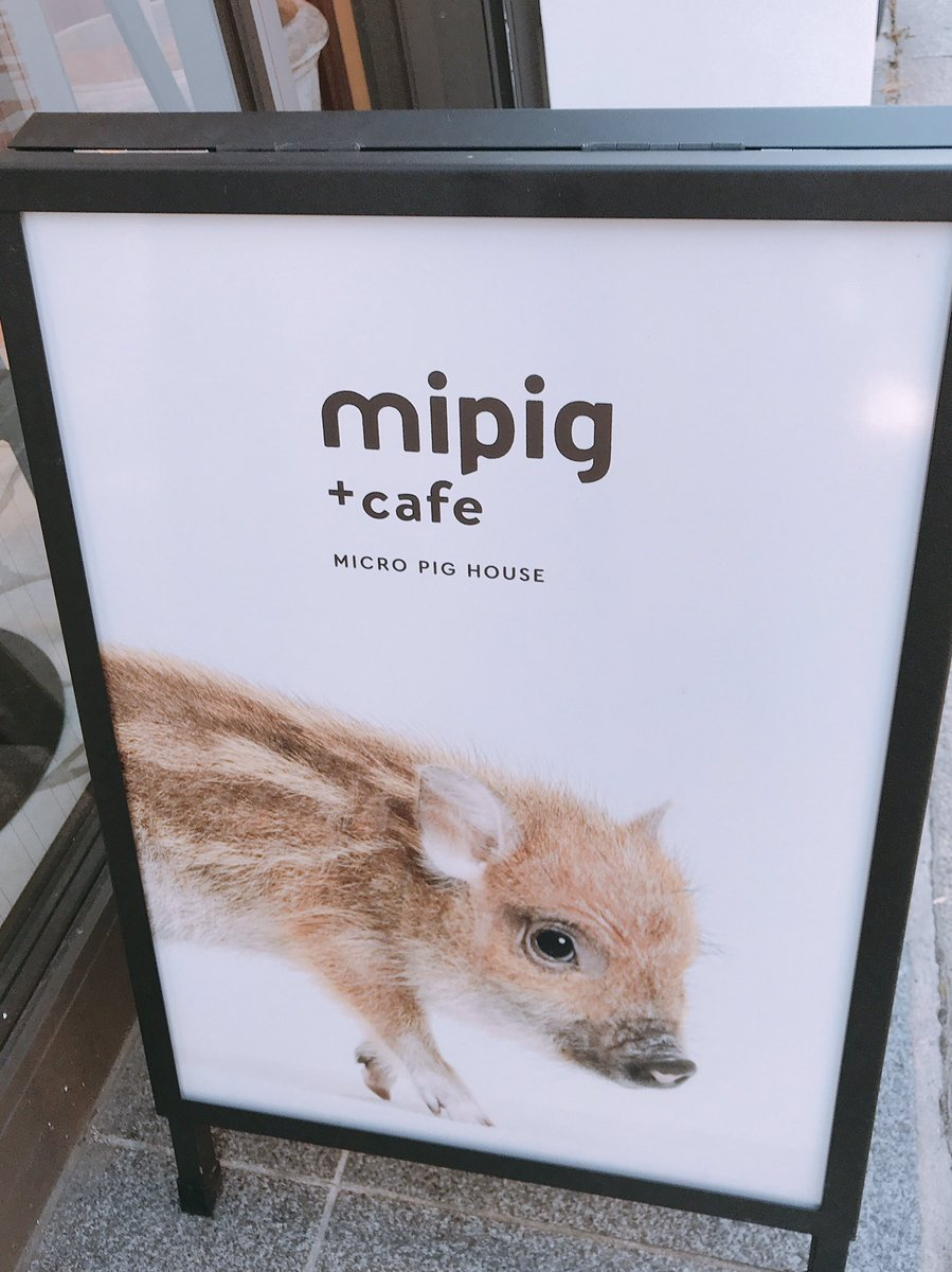 test ツイッターメディア - 目黒のぶたカフェ行ってきた🐷 猫カフェみたいなのを想像してたのに座ったらすぐ膝来てくれた、、、ファンサ良すぎる、、天国かここは、、、💘 https://t.co/tHA2OK3cZi