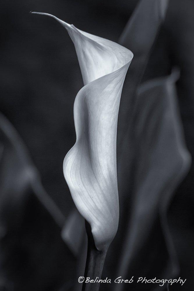 Calla Lily No. 2 - Bw by Belinda Greb