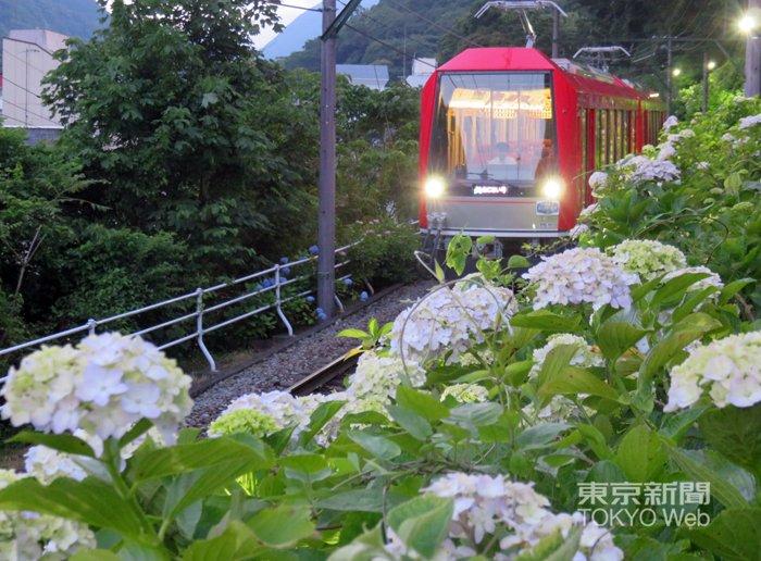 test ツイッターメディア - #箱根登山鉄道 は沿線6カ所でアジサイをライトアップしています。17日現在、箱根湯本付近は8分咲き、強羅付近はつぼみが多いようです。両駅の標高差は445mあり、来月上旬にかけて見頃も駆け上がっていきます。ライトアップは18時半~22時で来月7日まで。 https://t.co/9HPxDlkJ9I