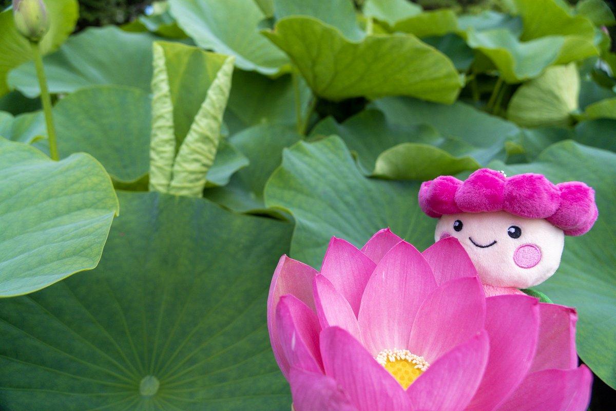 test ツイッターメディア - 6/23(日)まで #大賀ハスまつり 開催中の #千葉公園 では、本日6/18時点で #オオガハス が140輪咲きました✨まだ数えきれないほどのつぼみもあり、見頃は長く続きそうです😆 ハス池の木道は、6/23(日)まで朝6時頃から開放しています🎵  🌼千葉公園のオオガハス開花状況はこちら https://t.co/uQUsYy8IBs https://t.co/JekyPiWMLI