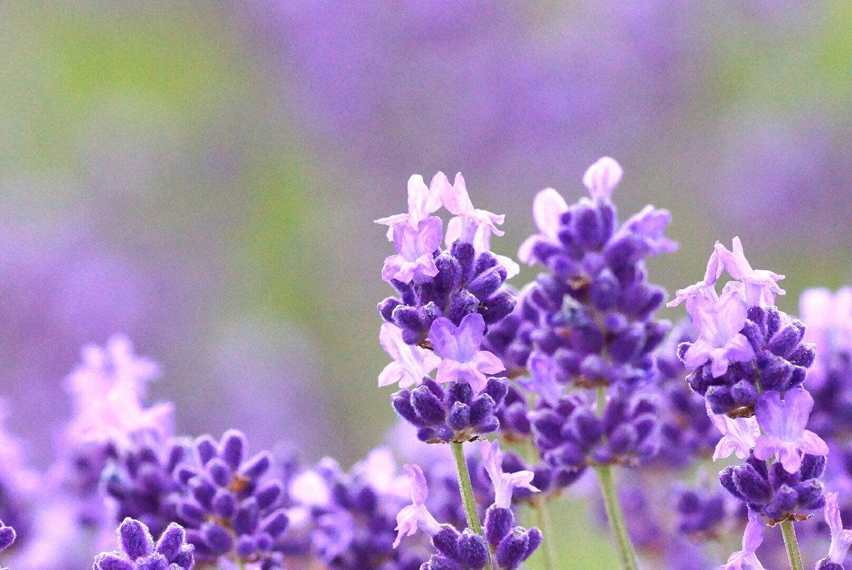 test ツイッターメディア - 岡山県美咲町 まきばの館  前回、来たときはつぼみでしたが お花もたくさん開き、 今、ラベンダーは見頃を迎えております。とても綺麗ですよ。 (6月18日 撮影) https://t.co/P4PKIHuaft