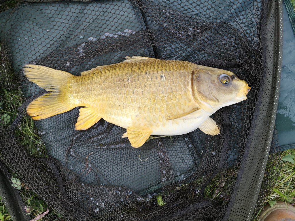 The fat koi around 9lb #carpfishing #carping #fishing #mirrorcarp #<b>Common</b>carp #koicarp https: