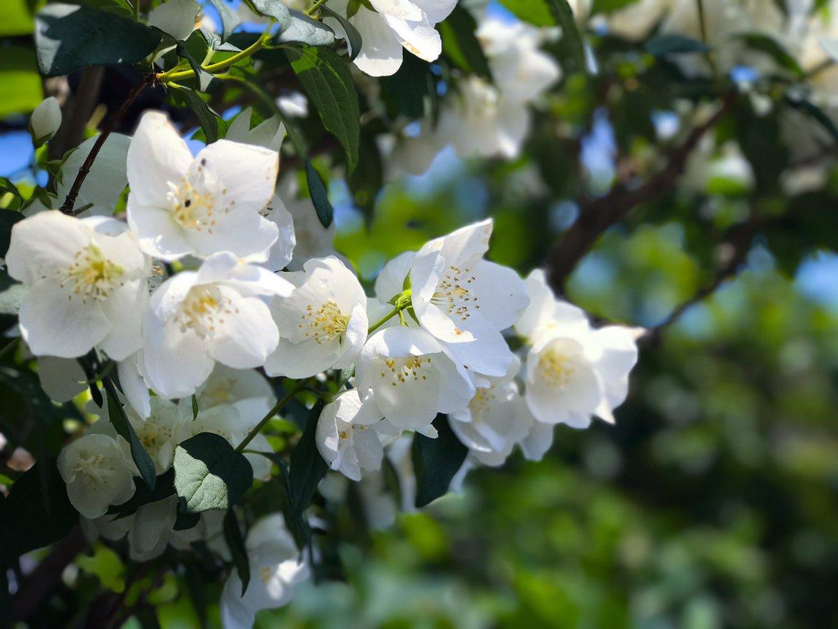 梅花空木(バイカウツギ)Japanese mock orangeアジサイ科 耐寒性落葉低木ウメの花に似た白い清楚な花がか