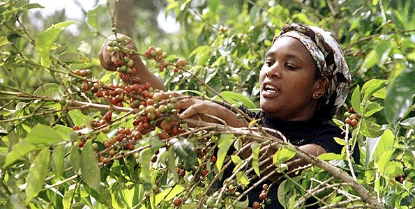 Boost for coffee growing as US body donates Sh200m