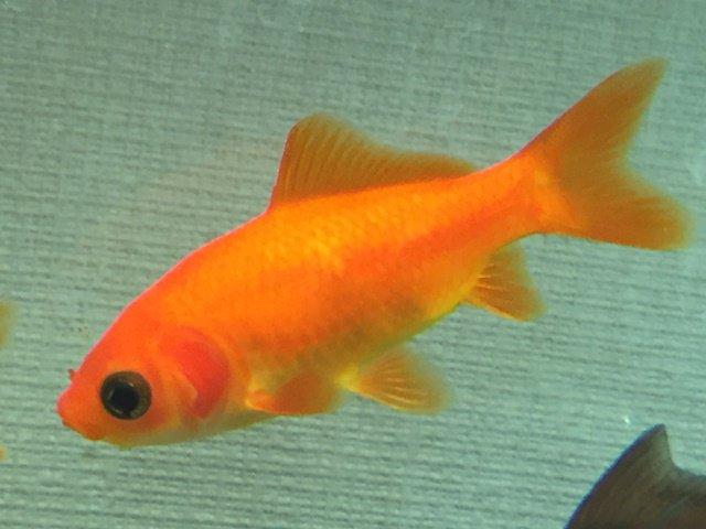 紅葉和金です。素赤和金の網目透明鱗バージョン。実は私はこの紅葉和金が一番好きな金魚だったりします。