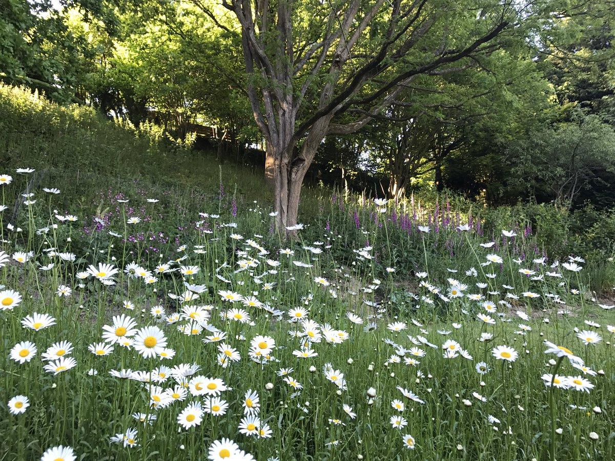 My Oxeye Daisy Meadow in Full Flower Today ???????????????? https://t.co/rNc8J2tHTw