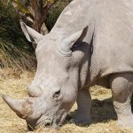 Poachers breach security and kill 2 rhinos at iMfolozi wildlife game pens