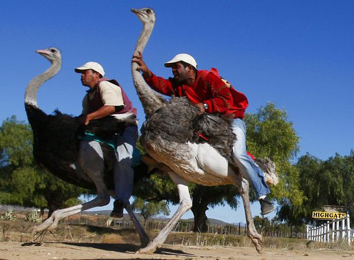 Bird-riding loses luster in South Africa's ostrich capital