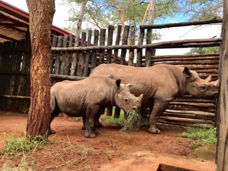 19 endangered rhinos fly home to Rwanda on Etihad Cargo planes