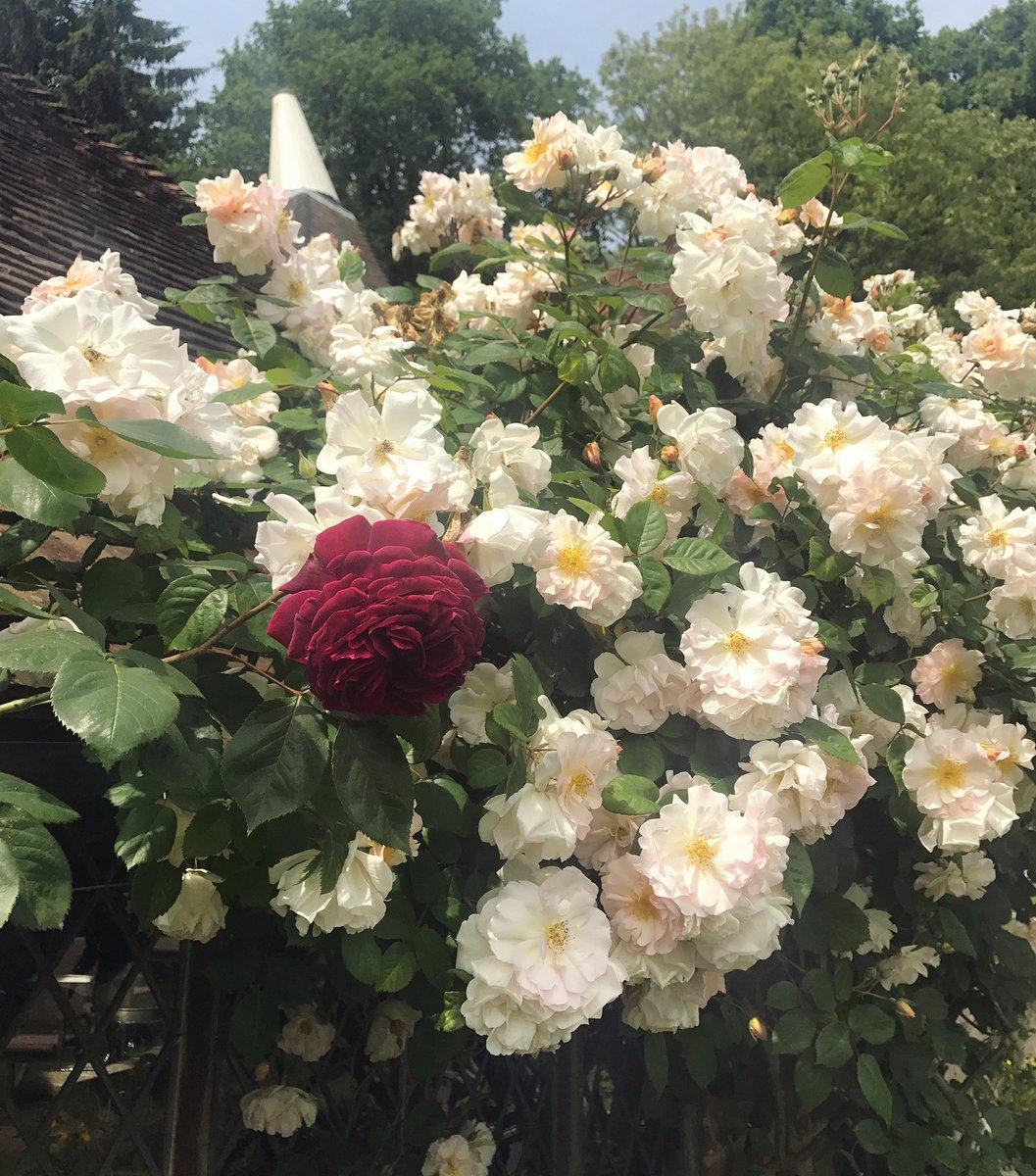 One Climbing Rose Blending into another ???? https://t.co/nK49nXWTeF