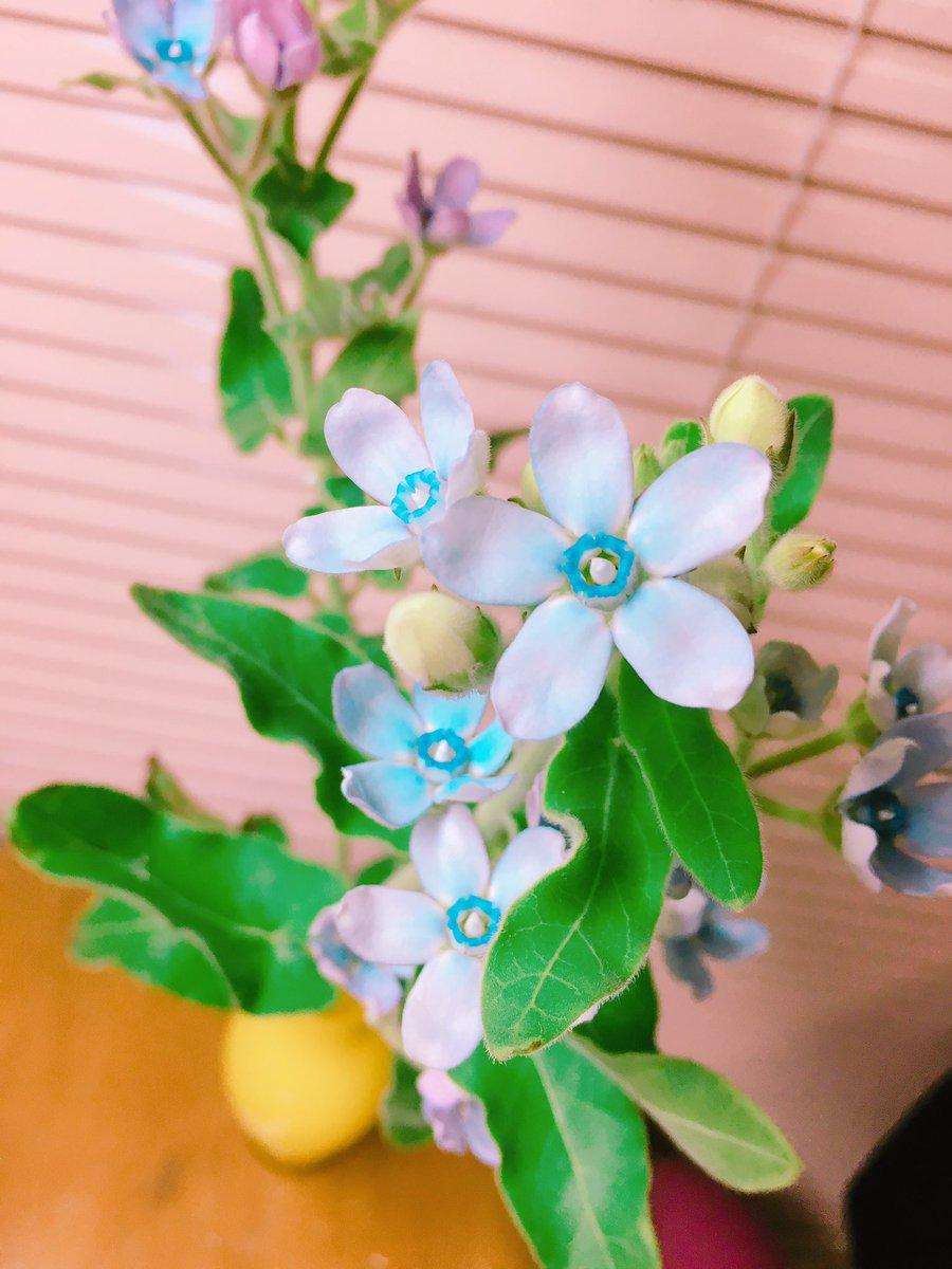 祭典の日に頂いたブルースターですブルースターはハナヤマタでみにゃみ演じるハナちゃんのお花。ラッピングは担当カラーに合わせ