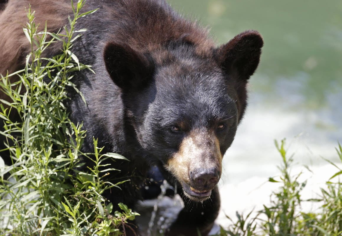 With bears on the rise, states hope to limit human conflicts