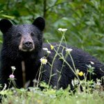 'They are back,' Southwick police says of daily bear sightings