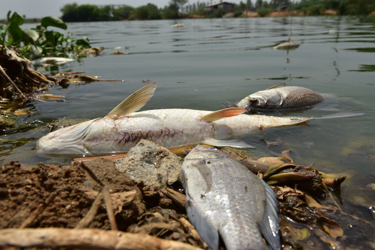 There are 30,000 dead fish floating in this Hyderabad lake via @TOIHyderabad