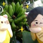 とらばなにゃと梶ばなにゃがバナナの木を発見して大はしゃぎしているよ!みんな今週も一週間頑張ろうにゃ〜!!!! 公式インス