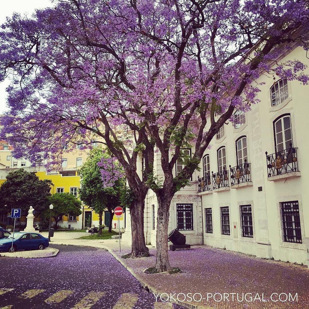 test ツイッターメディア - 散っても美しいジャカランダの花。 #リスボン #ポルトガル https://t.co/7AdFzR17gj