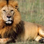 Man jailed for 20 years over lion fat