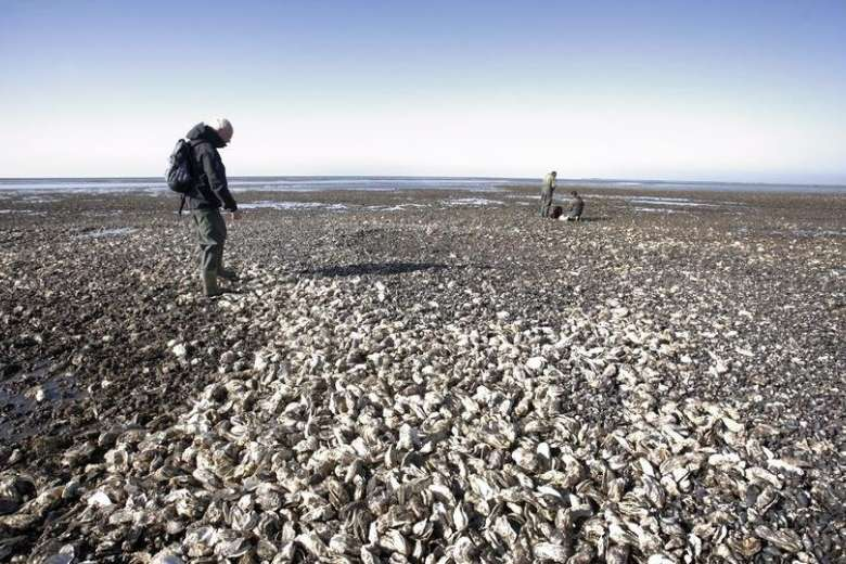 Woman from China helps save Danish beaches from 'oyster invasion' - Sichuan style